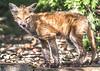 Red fox in backyard - October 2018-2 - 72 ppi