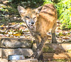 Red fox in backyard - October 2018-1 - 72 ppi