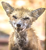 Red fox - October 2018-1 - 72 ppi