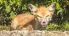 Red fox - October 2018-3 - 72 ppi