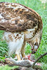 Red-tailed hawk, feeding on squirrel after kill - Missouri_1C30092 - 72 ppi