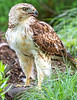 Red-tailed hawk, feeding on squirrel after kill - Missouri_1C30328 - 72 ppi-4
