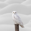 Snowy Owl on Fence Post