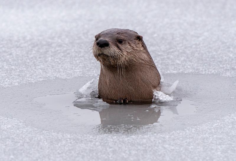 River Otters Saskatchewan