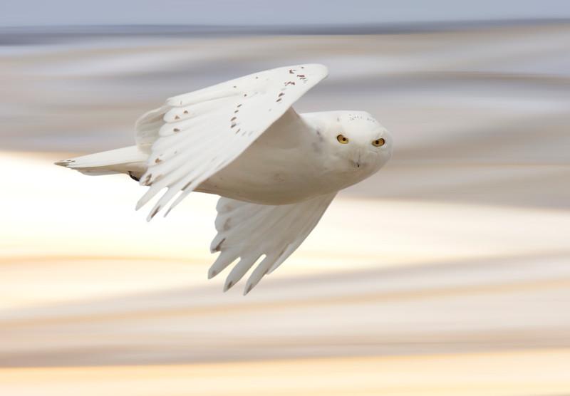 Snowy owl in Flight