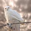 Snowy Owl Saskatchewan Canada