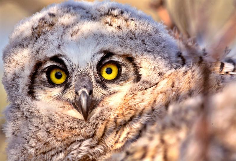 Owlet in nest in Saskatchewan