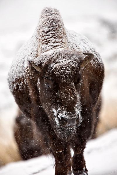 Bison Buffalo Wyoming Yellowstone