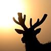 Elk Sillouette