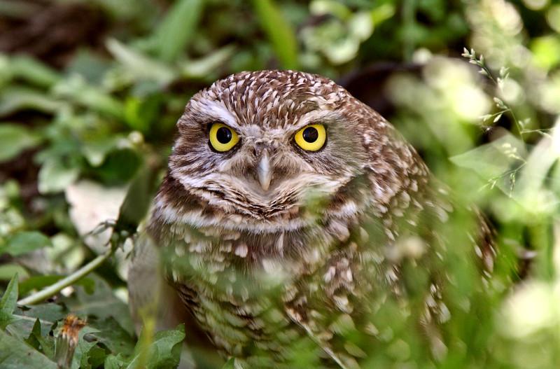Burrowing Owl amongst vegetation