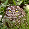 Burrowing Owl amongst vegetation