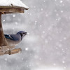 Blue Jay at Bird Feeder Winter