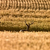 Mule Deer in Wheat Field