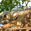 Great Horned Owlet in nest in scenic Saskatchewan