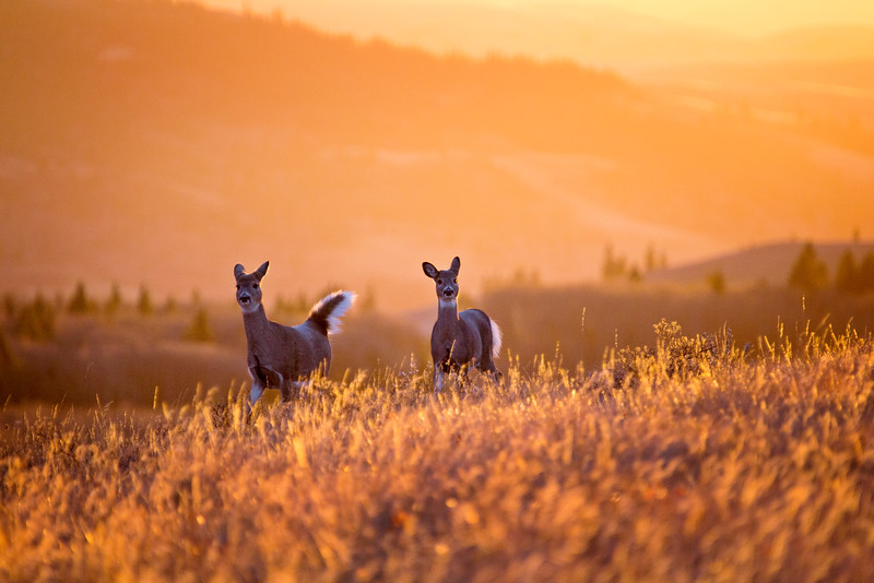 Cypress Hills Sunset Deer