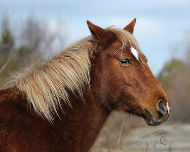 Wild Horse of the NC Outer Banks on Corolla Beach