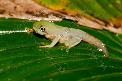Hilyda,Tree frog,boomkikke,rainette,Selva verde lodge,Costa Rica