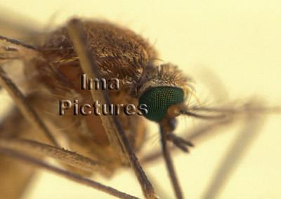 1-31-35-0313 Culicidae,Mosquito,mug,Moustiques