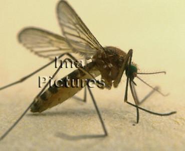 1-31-35-0462 Culicidae,Mosquito,mug,Moustiques