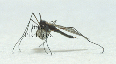1-31-35-0153 Culicidae,Mosquito,mug,Moustiques
