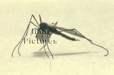 1-31-35-0183 Culicidae,Mosquito,mug,Moustiques