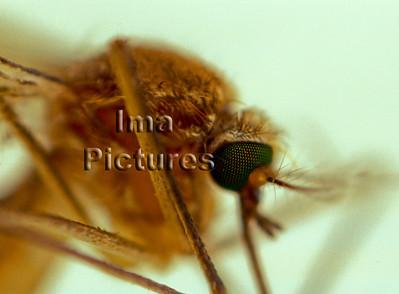 1-31-35-0314 Culicidae,Mosquito,mug,Moustiques