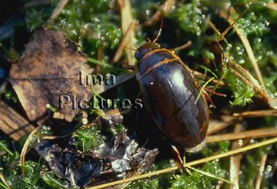 1-31-35-0598 Dytiscus marginalis,Great diving beetle,geelgerande watertor,Dytique bordé