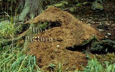 1-31-35-0173 formicidae,ant,mier,fourmi