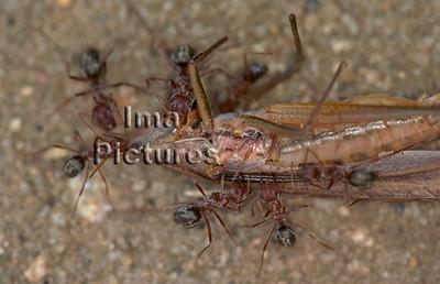 1-31-35-0563 formicidae,ant,mier,fourmi
