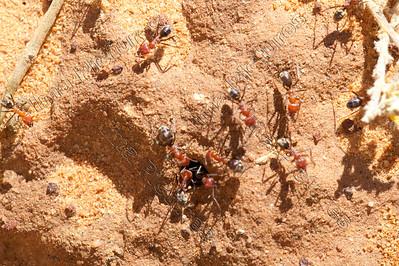formicidae,ants,mieren,fourmis,Jarlmadangah,Australia,Australië