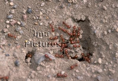 1-31-35-0489 formicidae,ant,mier,fourmi