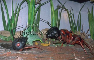 1-31-35-0269 formicidae,ant,mier,fourmi