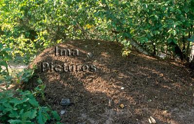 1-31-35-0431 formicidae,ant,mier,fourmi