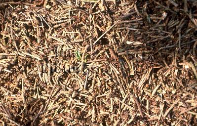 1-31-35-0430 formicidae,ant,mier,fourmi