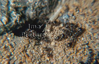 1-31-35-0569 formicidae,ant,mier,fourmi