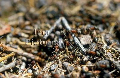1-31-35-0108 formicidae,ant,mier,fourmi