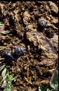 1-31-35-0454 Geotrupidae, Dung beetle,mestkever,Bousier
