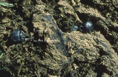 1-31-35-0557 Geotrupidae, Dung beetle,mestkever,Bousier