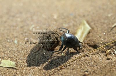 1-31-35-0590 Geotrupidae, Dung beetle,mestkever,Bousier