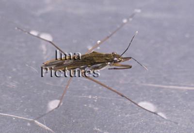 1-31-35-0223 Gerris lacustris,pond skaters,schaatsenrijders,araignées d'eau
