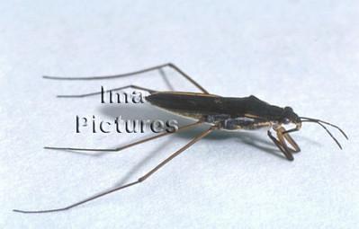 1-31-35-0224 Gerris lacustris,pond skaters,schaatsenrijders,araignées d'eau