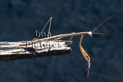 mantodea,praying mantis,bidsprinkhaan,mantoptère,Kimberley old river,Austrlia,Australië