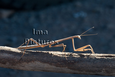 mantodea,praying mantis,bidsprinkhaan,mantoptère,Kimberley old river,Austrlia,Australië