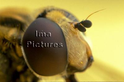 1-31-35-0358 Syrphidae,Hoverfly,zweefvlieg