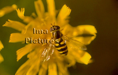 1-31-35-0401 Syrphidae,Hoverfly,zweefvlieg
