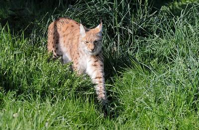 Lynx lynx,Eurasian lynx,Europese lynx,Lynx boréal