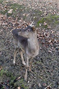 roe deer,ree,chevreuil