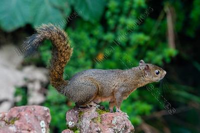 syntheosciurus brochus,Bangs's mountain squirrel,bergeekhoorn,écureuil,parque nacional volcàn poas,Costa Rica