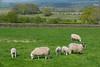 Sheep,schapen,moutons,Lazonby; Cumbria; Great Britain; Groot-Brittannië; Grande Bretagne; Eden Bridge