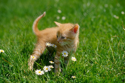 cat,kat,chat,felis catus
